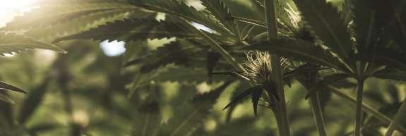 32-letnik je hišo v Radljah predelal v rastlinjak za gojenje konoplje