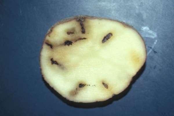 Uničen gomolj krompirja