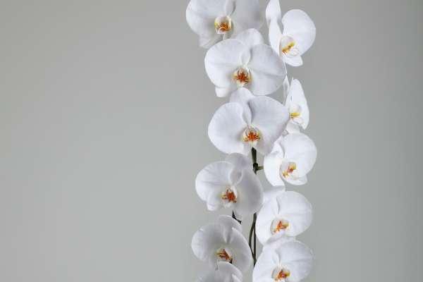 orhideja1.jpg