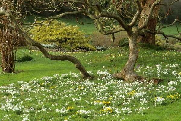 Na angleških vrtovih ni nič prepuščeno naključju. Tudi zvončki so vključeni v skrbno načrtovane zasaditve in končni videz vrtov. Woodpeckers v pokrajini Warwickshire.