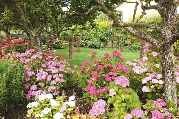 Hortenzije prejmejo ravno prav svetlobe in sence pod dvignjenimi krošnjami kakijevih dreves. Zato uspevajo kot malokje.