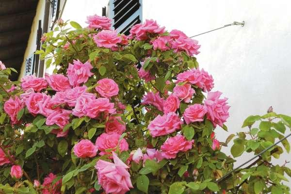 Roža brez trna – 'Zéphirine Drouhin' – je ena imenitnejših popenjavih burbonk.
