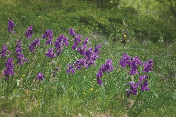 Pri nas v naravi največkrat najdemo ilirsko peruniko, ki pogosto raste v skupinah.