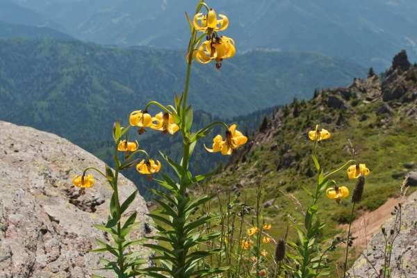 Posebna redkost so primerki kranjske lilije z rumenimi cvetovi.
