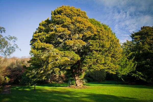 Tise spadajo med drevesne vrste, ki lahko doživijo zavidanja vredno starost in se tako razvijejo v občudovanja vredna drevesa.