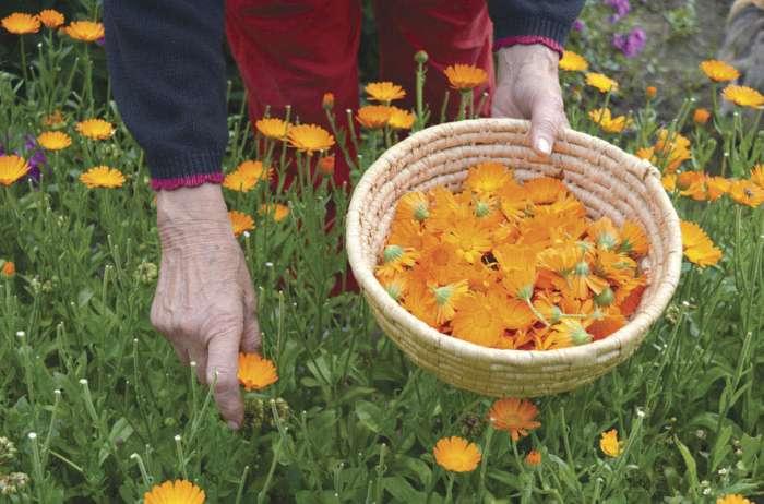 Nabiranje in sušenje zdravilnih in aromatičnih rastlin