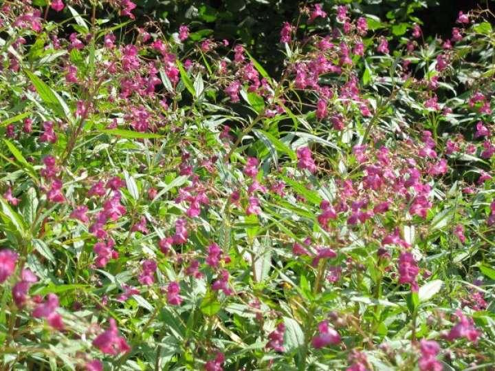 Invazivne rastline: Trojanski konji med rastlinami