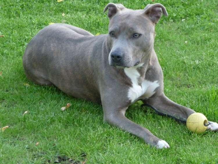 stafordširski terijer, terier American_Staffordshire_Terrier(Cleo)