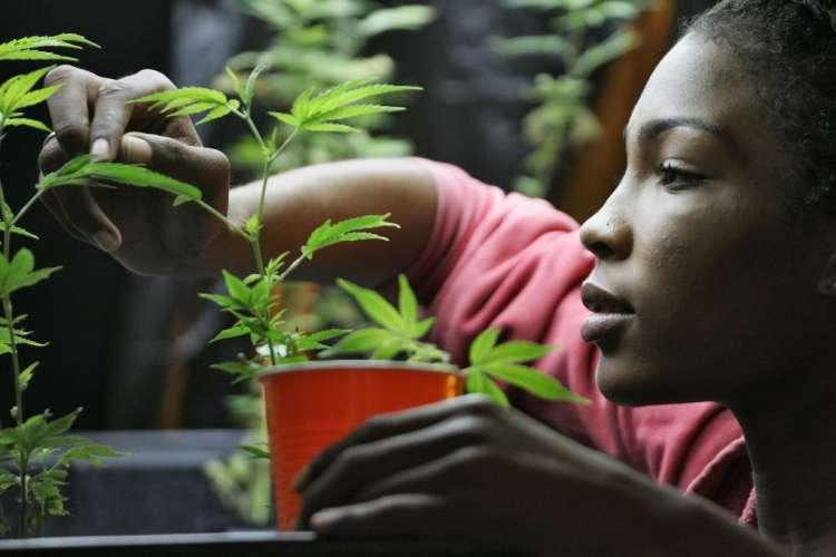 marihuana konoplja trava