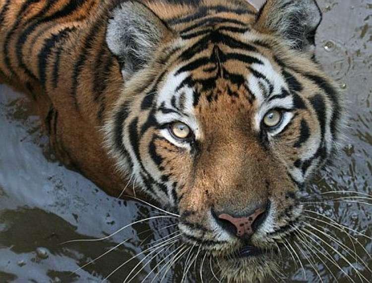 tiger, živalski vrt ljubljana