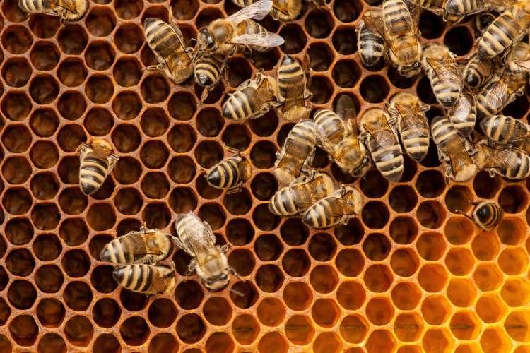 čebele, panj