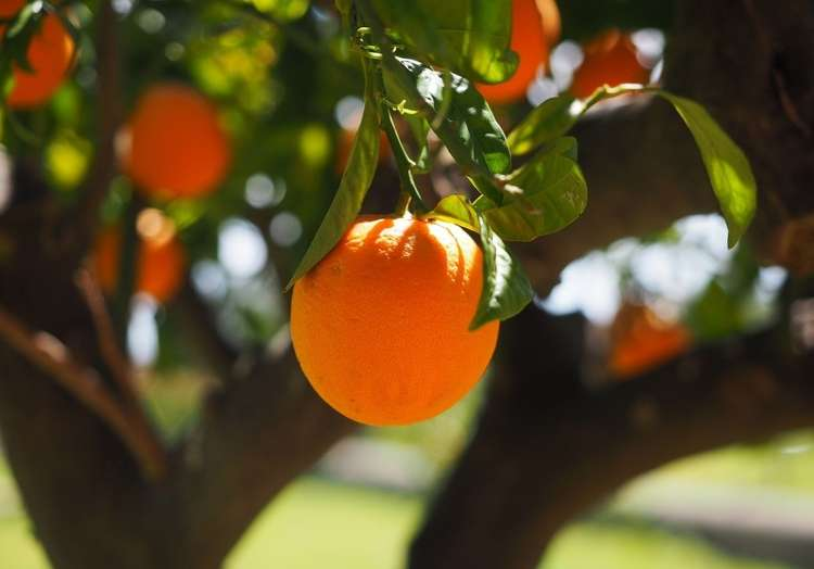 pomaranča.jpg
