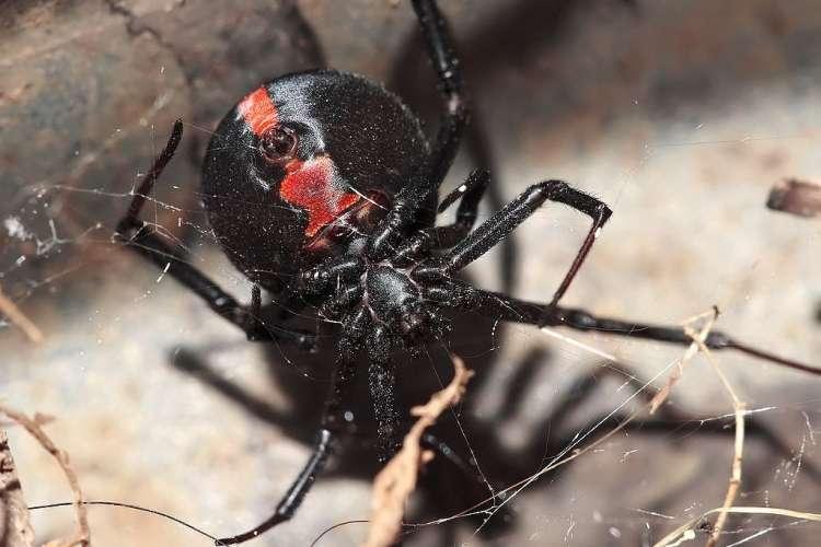 rdecehrbti pajek
