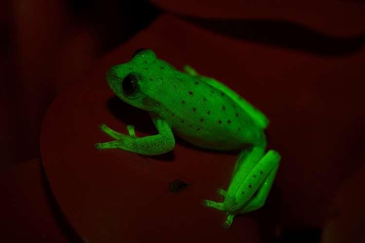 fluorescentna zaba