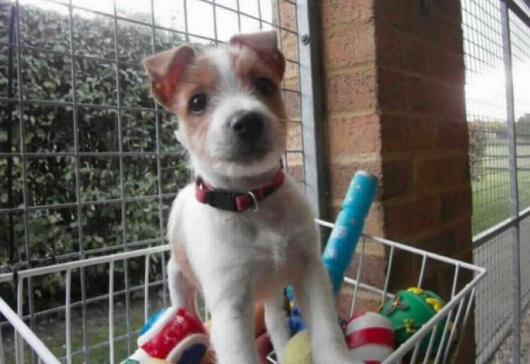 olly, jack russell terier, pes