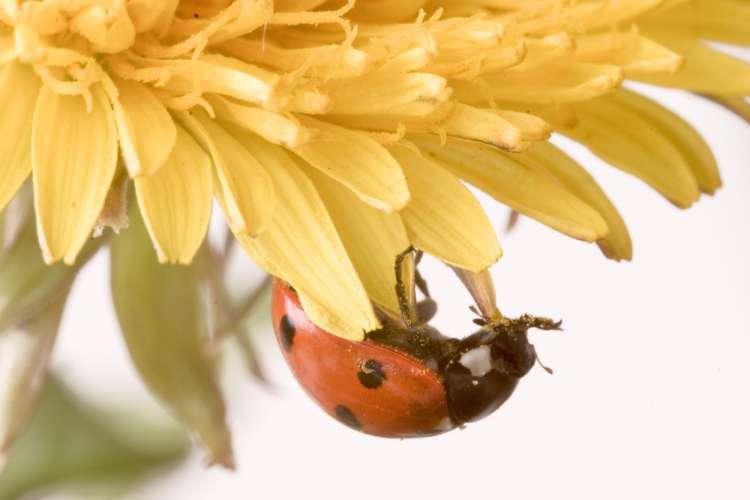 pikapolonica, cvet, sonce, pomlad