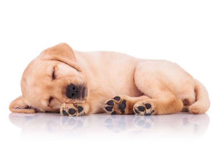 speči pes psiček