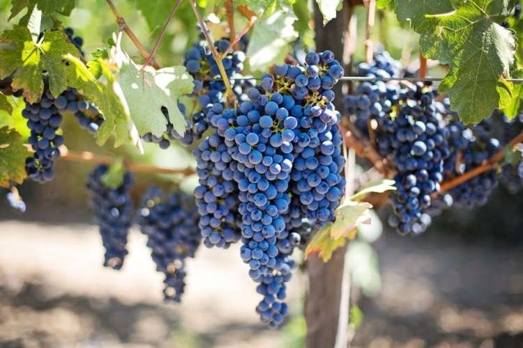 grozdje.jpeg