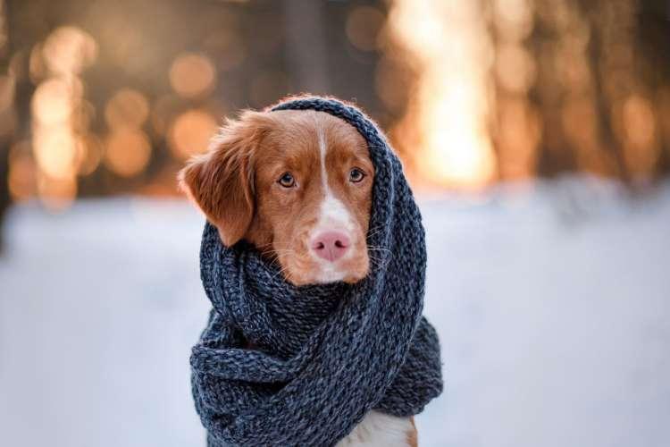 pes, zima