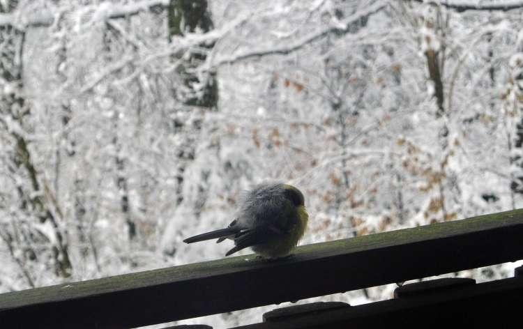 Mraz, sneg, zima, ptič, februar 2018
