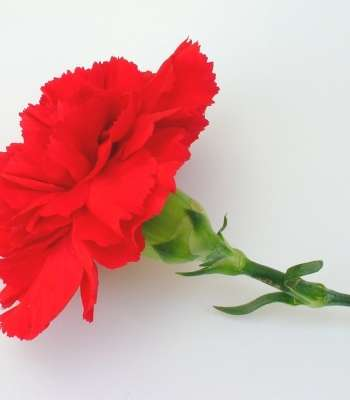 red-carnation-1541467