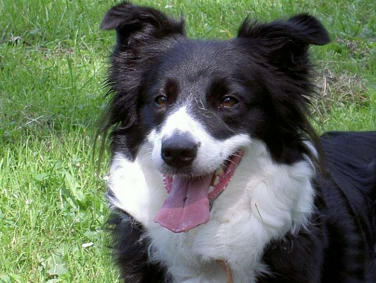 border collie.jpg