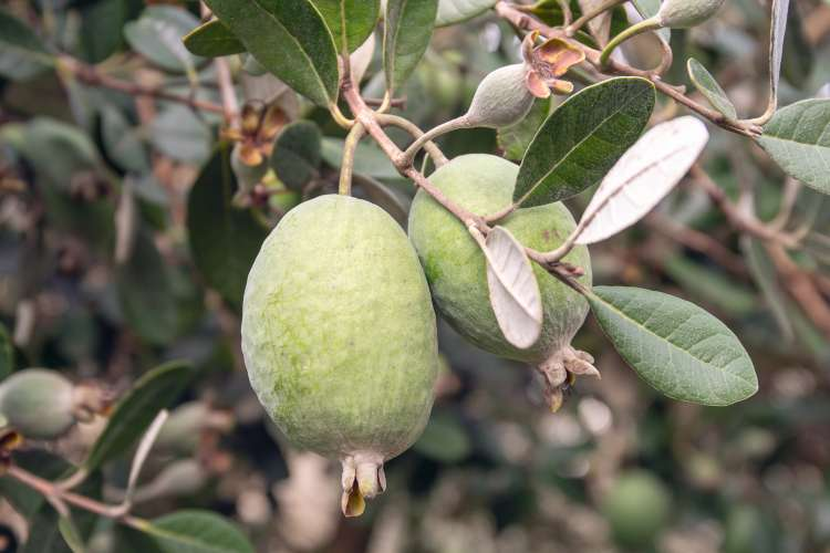 feijoa2-dream.jpg
