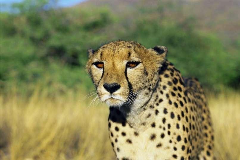 gepard velika mačka Indija Afrika