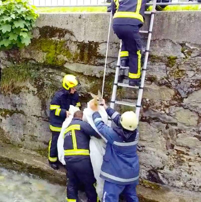 VIDEO: Neverjeten posnetek reševanja srne iz struge potoka Mošenik.